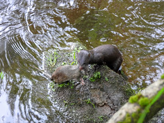 American Mink with Rat (Pendlelives) Tags: american mink non native rat caught catch hunt hunting carnivore eat eating rock river semi aquatic mustelid colne water wildlife nature mammal pendle pendlelives brown big massive tail nikon p1000 lancashire english british britain