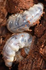 stag beetles (ophis) Tags: coleoptera polyphaga scarabaeoidea lucanidae syndesinae ceruchus ceruchuspiceus stagbeetle larva grub