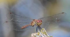 Dragonfly (Torok_Bea) Tags: dragonfly szitakötő beautiful wonderful wild wildanimal wildlife nikon nikond7200 natur nature nationalpark amazing animals awesome sigma sigma105 summer macro libèl·lula laumžirgis yusufçuk libelle стрекоза ważka 잠자리 蜻蜓 トンボ vilinkonjic libellule اليعسوب λιβελούλα