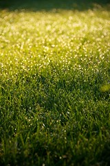 Dewy Lawn (The Good Brat) Tags: garden spring morning green bokeh lawn dewy fresh