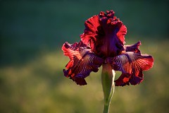 Early Morning Drama Queen (The Good Brat) Tags: colorado us garden spring morning iris irisgermanicadramaqueen backlighting backlit