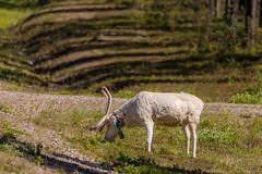 Was it a reindeer or sheep (Toftus Photography) Tags: tärendö norrbottencounty sweden sverige norrbotn kalix småsel se farve color landscape landskap outdoor nature canon eos 5d mark iv