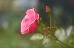 The Simple Beauty of a Rose... (KissThePixel) Tags: rose pinkrose pink flower pinkflower bokeh bokehlicious beautiful summer green closeup helios helios44m4 44m4 58mm f2 vintage vintagelens russianlens nikon nikondf df fineart