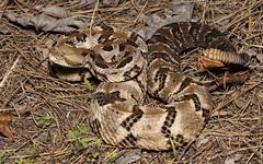 Timber Rattlesnake (cre8foru2009) Tags: timberrattlesnake crotalushorridus snake herping reptile venomous viper