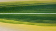 Abstract Green Landscape (The Good Brat) Tags: colorado us garden spring morning water reflection light iris variegated yellow green white fresh landscape abstract