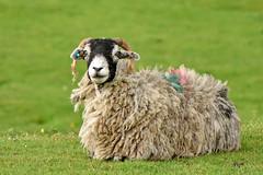 colourful (42jph) Tags: sheep nature animal uk england yorkshire dales grassington dale way nikon d7200 105mm f28g edif afs vr micro lens