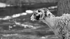 mono sheep (42jph) Tags: sheep nature animal uk england yorkshire dales grassington dale way nikon d7200 mono black white bw 105mm f28g edif afs vr micro lens