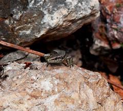 Common Wall Lizard / Lézard des Murailles (Desc/Em) Tags: lizard lézard squamata biodiversity biodiversité reptile lézarddesmurailles commonwalllizard herpetofaune herpetofauna alpesmaritimes meridionalalps mediterraneancoast mediterraneanforest riviera frenchriviera côtedazur côte macro