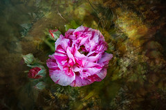 Rosa Mundi (judy dean) Tags: judydean 2019 garden texture ps rosamundi apothecariesrose rose pinkandwhite petals buds 365the2019edition 3652019 day168365 17jun19