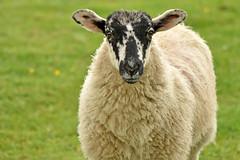 """Ewe"" (42jph) Tags: sheep nature animal uk england yorkshire dales grassington dale way nikon d7200 105mm f28g edif afs vr micro lens"