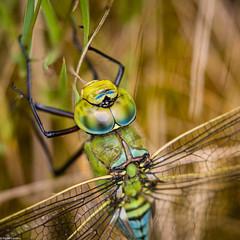 Emperor Dragonfly - Detail (PedroLanders) Tags: meeth meethquarry devonwildlifetrust devon insect odonata dragonfly