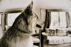 The sepia Bear. (tony allan tony allan) Tags: dog alsatian germanshepherd pet sonya6000