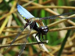 IMG_2118 up close (belight7) Tags: dargonfly uk nature england burnham beeches