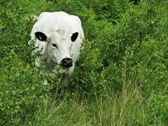 IMG_2106 free range ;) (belight7) Tags: white cow uk nature england burnham beeches