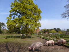 iow20190414 Quarr Abbey2 Pigs1 (g crawford) Tags: iow iw isleofwight quarrabbey quarr abbey pig pigs sow sows panasonic lumix tz60 crawford