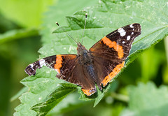Bedraggled Red Admiral