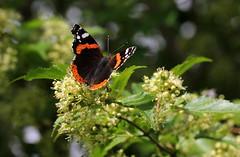 Appuntamento (lincerosso) Tags: primavera spring fioriarborei flowers insetti farfalle butterflies vanessaatalanta appuntamento bellezza armonia