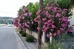 Πικροδάφνες (oleander). (Giannis Giannakitsas) Tags: πικροδαφνη πικροδαφνεσ oleander