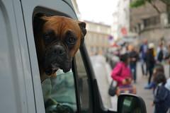 Boxerhund in Lieferwagen in Paris (Sascha Klauer) Tags: animals auto autofenster beifahrerfenster bludog boxer boxerhund buldogge clignancourt deutscherboxer deutscherboxerhund dog dogge france frankreich hund ilce7 kurzurlaub lieferwagen montmartre paris placesaintpierre sacrecoeur sonya7 sonyalpha7 sonyilce7 tiere transporter unschärfe