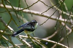 Mésange à longue queue (Oric1) Tags: france eos oric1 sigma landes sport canon 40 120300mm réservenaturelledumaraisdorx nature oiseau bird jeanlucmolle