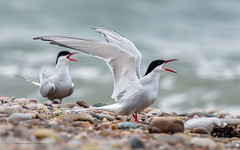 Arctic Tern 19-May-19 M_009 (gomo.images) Tags: 2019 artictern bird country moray nature scotland speybay years