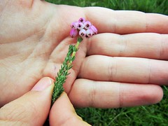 IMG_2046 cross leave heath heather in boggy area (belight7) Tags: heath flower bog area burnham beeches uk england