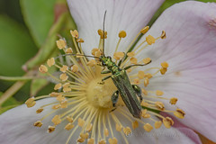 _IMG0927 Thick-legged flower beetle -  Oedemera nobilis (Pete.L .Hawkins Photography) Tags: thicklegged flower beetle oedemera nobilis petehawkins petelhawkinsphotography petelhawkins petehawkinsphotography 150mm irix macro pentaxpictures pentaxk1 petehawkinsphotographycom f28 11 fantasticnature fabulousnature incrediblenature naturephoto wildlifephoto wildlifephotographer naturesfinest unusualcreature naturewatcher insect invertebrate bug 6legs compound eyes creepy crawly uglybug bugeyes fly wings eye veins flyingbug flying shell elytra ground