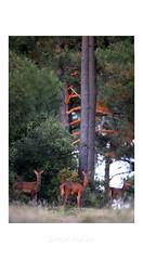 Dernier rayon (simon Hlls) Tags: cerf biche forêt sauvage arbre nouvelleaquitaine animaux