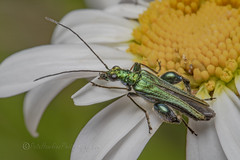 _IMG0733 Thick-legged flower beetle -  Oedemera nobilis (Pete.L .Hawkins Photography) Tags: thicklegged flower beetle oedemera nobilis petehawkins petelhawkinsphotography petelhawkins petehawkinsphotography 150mm irix macro pentaxpictures pentaxk1 petehawkinsphotographycom f28 11 fantasticnature fabulousnature incrediblenature naturephoto wildlifephoto wildlifephotographer naturesfinest unusualcreature naturewatcher insect invertebrate bug 6legs compound eyes creepy crawly uglybug bugeyes fly wings eye veins flyingbug flying shell elytra ground