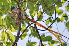 Африканская райская мухоловка, Terpsiphone viridis granti, African Paradise-Flycatcher (Oleg Nomad) Tags: африканскаярайскаямухоловка terpsiphoneviridisgranti africanparadiseflycatcher птицы африка замбия bird aves africa zambia