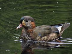 IMG_2074 (belight7) Tags: mandarin duck pond burnham beeches uk england
