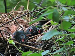IMG_2068 3 babies <3 (belight7) Tags: baby moorhen nest pond burnham beeches uk england