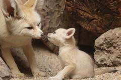 fennec artis 094A0233 (j.a.kok) Tags: animal artis afrika africa fox fennek fennec vos woestijnvos baby babyfox mammal motherandchild moederenkind zoogdier dier fennecfoxfennecuszerdavulpeszerdavulpes