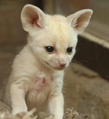 fennec artis 094A0175 (j.a.kok) Tags: animal artis afrika africa fox fennek fennec vos woestijnvos baby babyfox mammal zoogdier dier fennecfoxfennecuszerdavulpeszerdavulpes