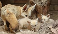 fennec artis 094A0183 (j.a.kok) Tags: animal artis afrika africa fox fennek fennec vos woestijnvos baby babyfox mammal motherandchild moederenkind zoogdier dier fennecfoxfennecuszerdavulpeszerdavulpes
