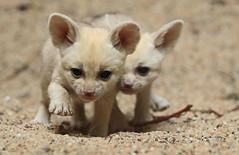 fennec artis 094A0084 (j.a.kok) Tags: animal artis afrika africa fox fennek fennec vos woestijnvos baby babyfox mammal zoogdier dier fennecfoxfennecuszerdavulpeszerdavulpes