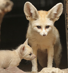 fennec artis 094A0203 (j.a.kok) Tags: animal artis afrika africa fox fennek fennec vos woestijnvos baby babyfox mammal motherandchild moederenkind zoogdier dier fennecfoxfennecuszerdavulpeszerdavulpes