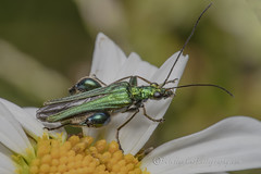 _IMG0738 Thick-legged flower beetle -  Oedemera nobilis (Pete.L .Hawkins Photography) Tags: thicklegged flower beetle oedemera nobilis petehawkins petelhawkinsphotography petelhawkins petehawkinsphotography 150mm irix macro pentaxpictures pentaxk1 petehawkinsphotographycom f28 11 fantasticnature fabulousnature incrediblenature naturephoto wildlifephoto wildlifephotographer naturesfinest unusualcreature naturewatcher insect invertebrate bug 6legs compound eyes creepy crawly uglybug bugeyes fly wings eye veins flyingbug flying shell elytra ground