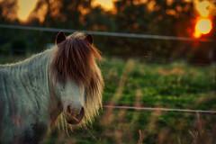(m_ingel) Tags: sunset horse green sonnenuntergang pferd pony gras