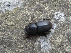 Beetle (river crane sanctuary) Tags: beetle nature bug insect rivercranesanctuary dor shardborne dumbledor clock lousywatchman