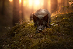 In a magical forest (kahora777) Tags: dogphotography animalsphotography petphotography portrait outdor sadness sunset germanshepherds blackdog wood
