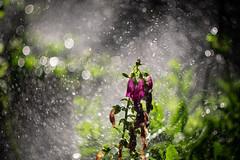 Garden drops (www.altglas-container.de) Tags: garden bokeh drops flower garten blume tropfen wasser water