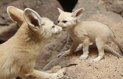 fennec artis 094A0114 (j.a.kok) Tags: animal artis afrika africa fox fennek fennec vos woestijnvos baby babyfox mammal motherandchild moederenkind zoogdier dier fennecfoxfennecuszerdavulpeszerdavulpes