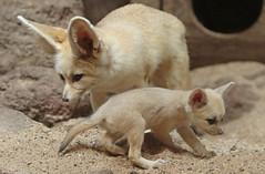 fennec artis 094A0159 (j.a.kok) Tags: animal artis afrika africa fox fennek fennec vos woestijnvos baby babyfox mammal motherandchild moederenkind zoogdier dier fennecfoxfennecuszerdavulpeszerdavulpes