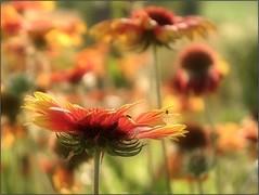 (Tölgyesi Kata) Tags: gaillardiaaristata kokárdavirág blanketflower withcanonpowershota620 flower yellow blossom kokardenblumen fleur virág nyár summer
