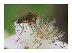 pollinator (Marti Thinkso) Tags: macro minoltalens 100mmf28macro minolta100mmf28macroaf rspb rspbreserve rspbrainhammarshes rainhammarsh insect