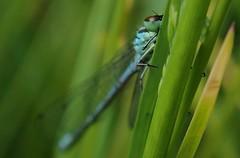 northern damselfly Coenagrion hastulatum coenagrionidae (BSCG (Badenoch and Strathspey Conservation Group)) Tags: coenagrionidae acm insect odonata damselfly coenagrion june