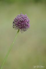 Allium (Sophie Turlur-Chabanon - Photos) Tags: nikon helios fleur printemps macro helios44