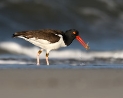 American Oystercatcher M3 (Shayna Marchese) Tags: americanoystercatcher m3 capemay