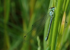 northern damselfly Coenagrion hastulatum coenagrionidae (BSCG (Badenoch and Strathspey Conservation Group)) Tags: insect odonata damselfly coenagrionidae coenagrion acm june